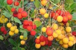 L 39 arbousier les jardins du chaigne - Fruit de l arbousier ...